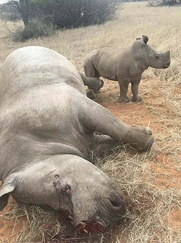 6 Rhinos Shot & Butchered For Their Horns In One Night At A South African Reserve 1