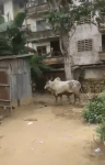 Video: Watch how Hausa man turns to cow to escape the angry mob in Aba