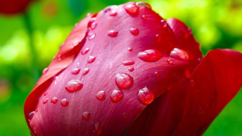 tulip-341677_1920