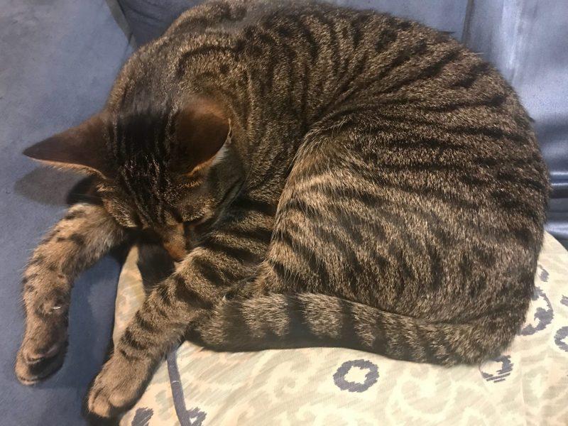 Tabby Cat Taxes