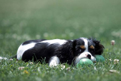 cavalier king charles tricolore