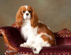 cavalier king charles blenheim
