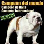 bulldog champion du monde