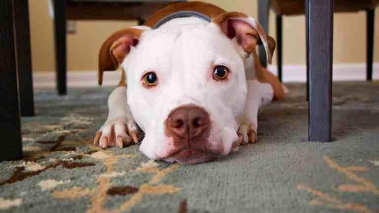 """Les chiens """"dits dangereux"""" ou catégorisés et la loi"""