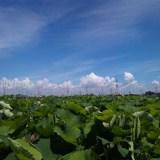 愛西市レンコン畑