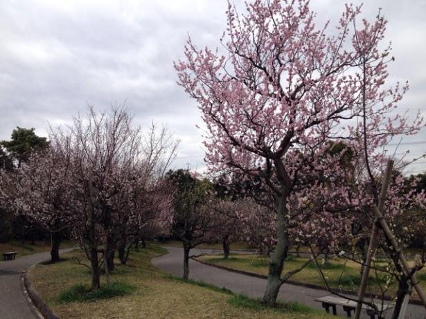 お墓の隣にある向山梅林園に行ってきた。次の桜に期待。