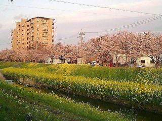 愛知県豊川市で桜が見れるオススメお花見スポット