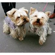Fifi et Olya les yorkshire 9013 9014