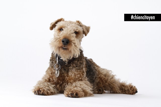 Azou Welsh Terrier Red
