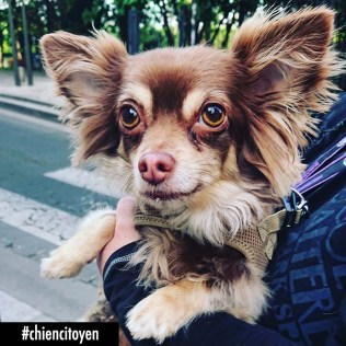 Chihuahua Paris15
