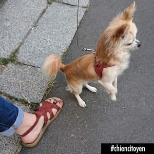 Lilou Chihuahua Paris 15