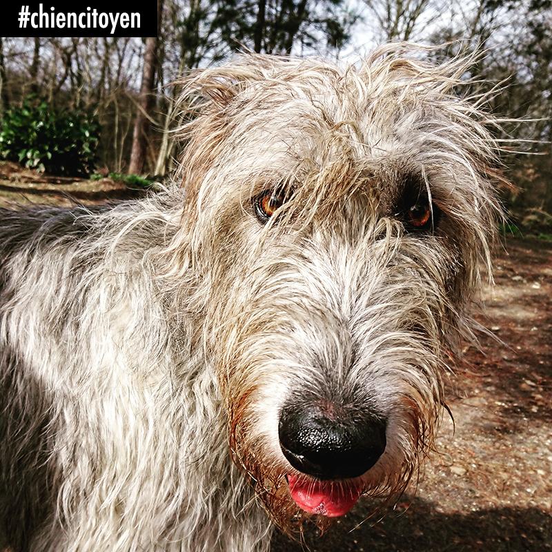 Le portrait de l'Irish Wolfhound – LE CHIEN DU CITOYEN