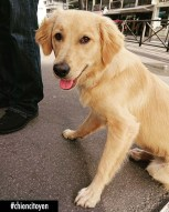 Oonagh GoldenRetriever Paris7