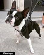 Pepper Boston Terrier Paris13