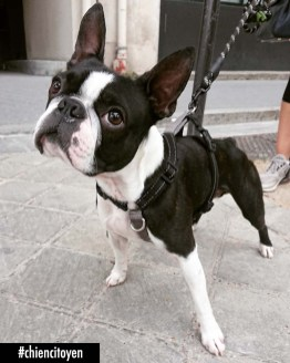 Pepper Boston Terrier Paris13