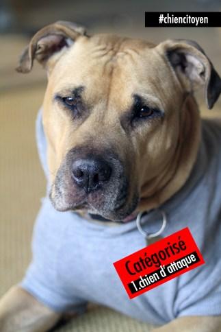 """Xena, adorable chienne Pit Bull catégorisée """"chien d'attaque"""""""