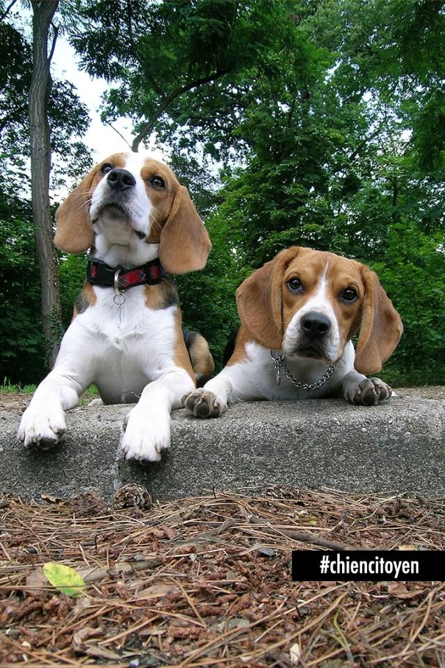 beaglesDuoRed