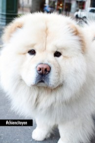 chow chow2red