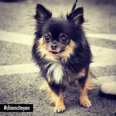 Chihuahua2Paris14