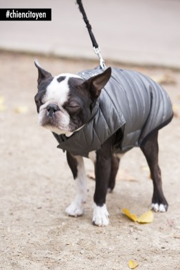 MarvelBostonTerrierParis19