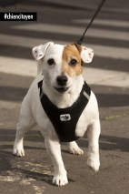 RockyJackRussellParis11