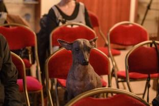 Caqueta Illiapa Pazzda - Peruvian Hairless Dog of Eva Linhartová. Photo by Alessandro Pucci