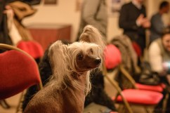 Chinese Crested Dog of Eva Linhartová. Photo by Alessandro Pucci