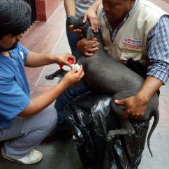 Donación en alimento y cuidados de salud a canes sin Pelo del Perú de la Dra. Juana Figueroa (Veterinaria) y Dra Teresa Rosales-Tham (Arqueóloga)