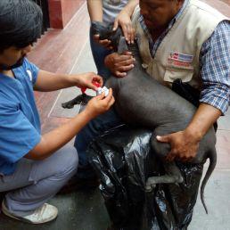 Donación en alimento y cuidados de salud a canes sin Pelo del Perú por la Dra. Juana Figueroa (Veterinaria) y Dra Teresa Rosales-Tham (Arqueóloga)