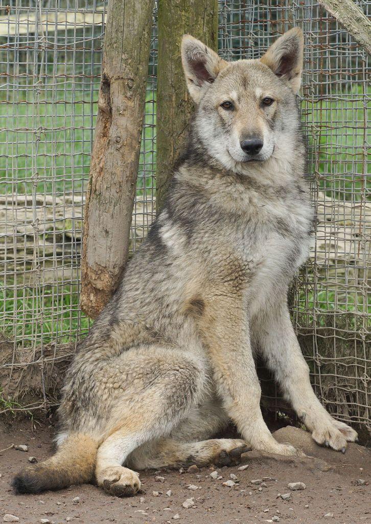 Chien-loup De Saarloos : chien-loup, saarloos, Chiot, Canens, Africae, Elevage, Chiens, Loups, Saarloos, Basenjis