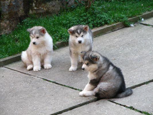 Jack Russell Terrier Cute Puppies Wallpaper Malamute De L Alaska Chiot