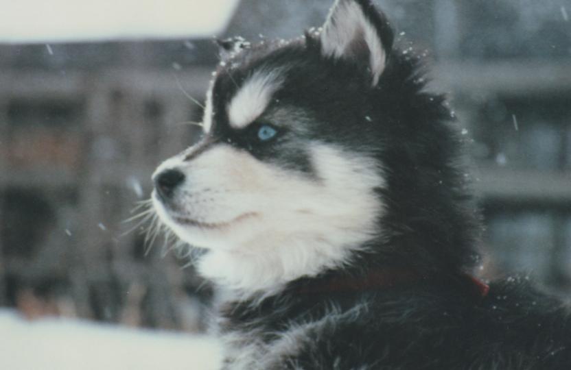 Jack Russell Terrier Cute Puppies Wallpaper Husky Noir