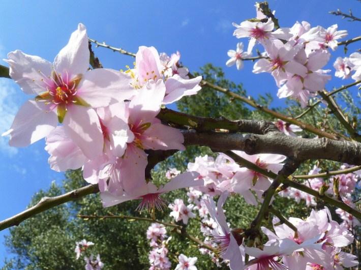 fleurs-d-amandier.JPG