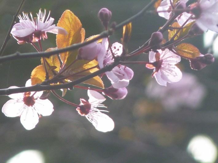 fleurs-prunus.JPG