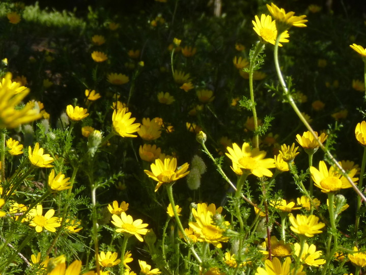 fleurs-jaunes1