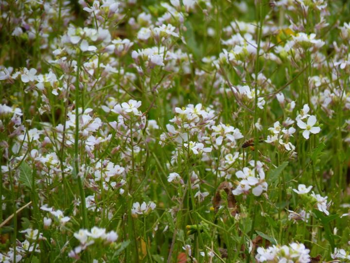 fleurs-blanches