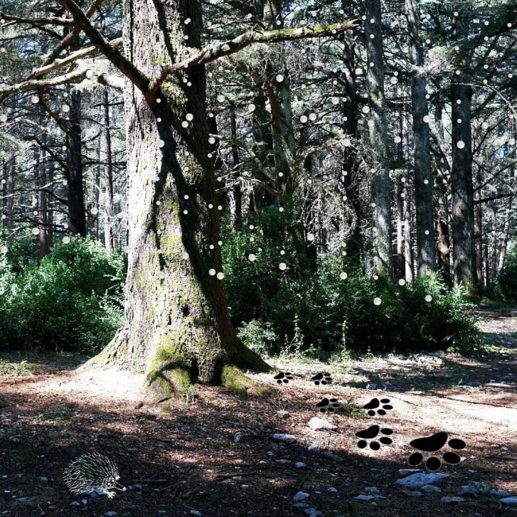 forêt-des-cedres