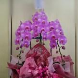 商品番号【CH1520004】¥21600 胡蝶蘭の大輪3Fタイプです。 当店自慢のラッピングも必見です(^o^) お誕生日・開店祝いなど様々なシチュエーションにいかが!!