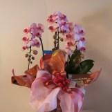 商品番号【CH15110011】¥12960 胡蝶蘭のミディタイプで淡いピンクのお花がとても可愛いらしいです。当店自慢のラッピングも必見です(^o^) お誕生日・開店祝いなど様々なシチュエーションにいかが!