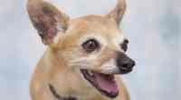 Chihuahua teeth care
