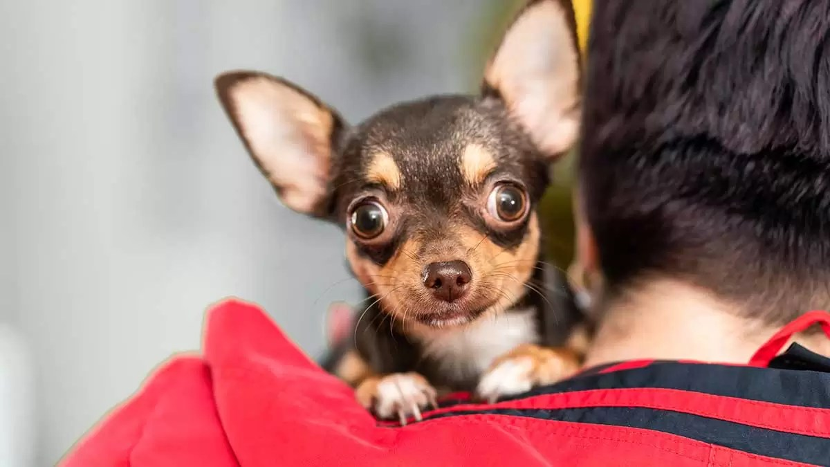 Can Chihuahuas Really See Ghosts?