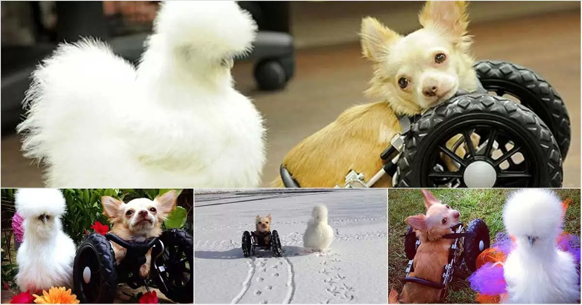 Fluffy-Chicken-Saved-From-Laboratory-Becomes-Best-Friends-With-Abandoned-Two-legged-Chihuahua-