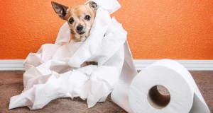 How-to-Train-Your-Chihuahua-to-Poop-Outside