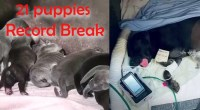 Mastiff-Gives-Birth-To-A-Whopping-21-Puppies,-Breaks-A-National-Record