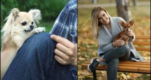 Study-Reveals-How-Long-It-Takes-To-Fall-In-Love-With-a-Chihuahua---2