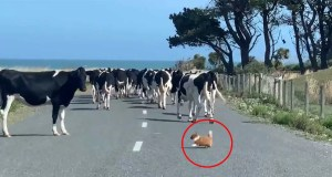 These-Cows-are-Being-Herded-By-a-Pomeranian-Chihuahua