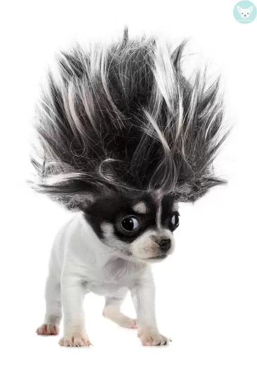 chihuahua hair spike