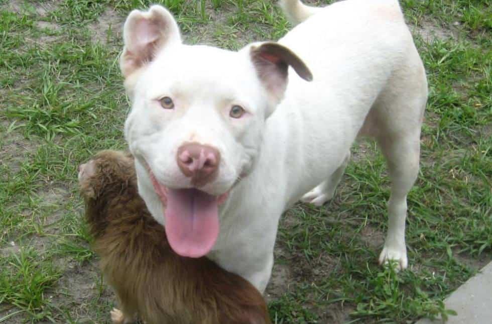 pitbull and chihuahua