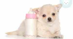 chihuahua near milk bottle not happy