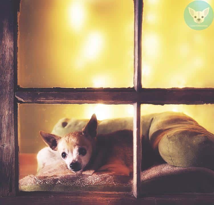 chihuahua alone near window sleeping